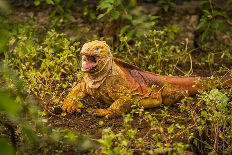 Iguana da terra com a boca aberta entre arbustos imagem de stock
