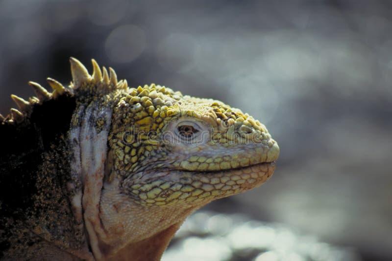 Iguana da terra - consoles de Galápagos foto de stock royalty free