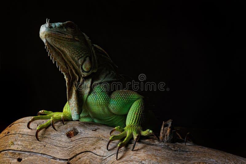 Iguana on dark background. Black and white image.  stock photo