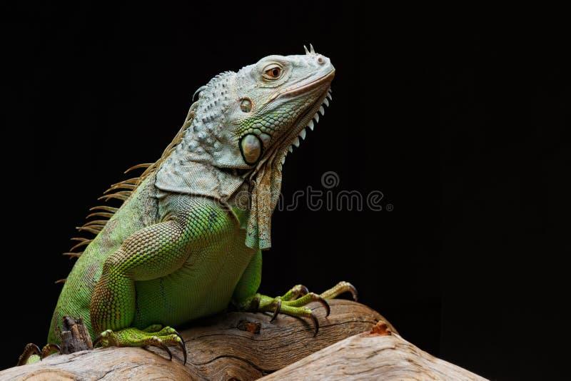 Iguana on dark background. Black and white image.  stock images