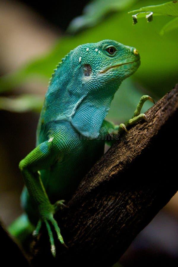 Iguana de Fiji no perfil no ramo de árvore imagens de stock royalty free