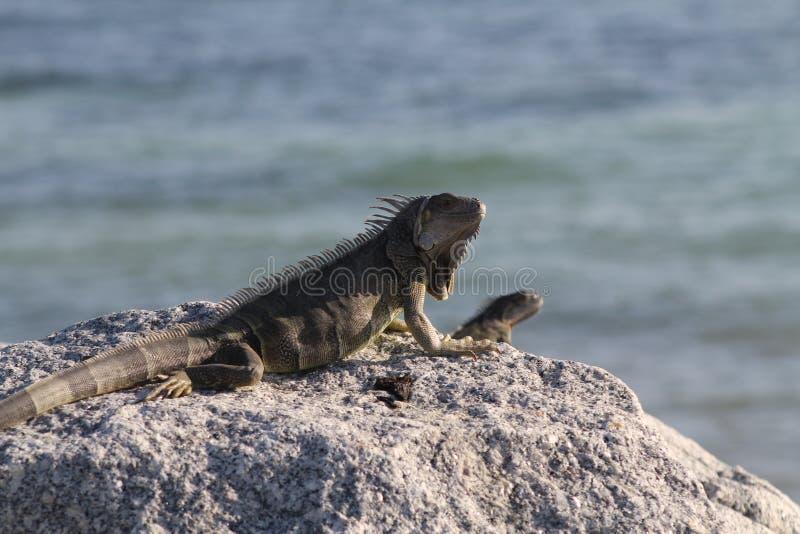 Iguana de Florida imagem de stock