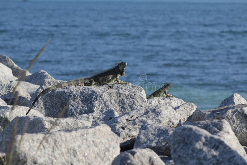 Iguana de Florida foto de stock royalty free