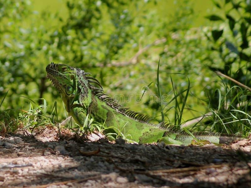 Iguana de Key West (2) imagenes de archivo