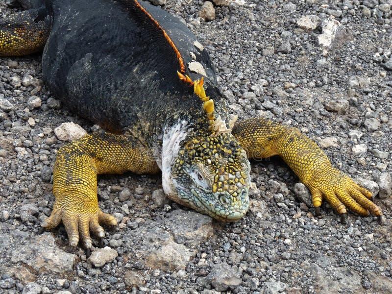 Iguana de las Islas Gal3apagos imagen de archivo