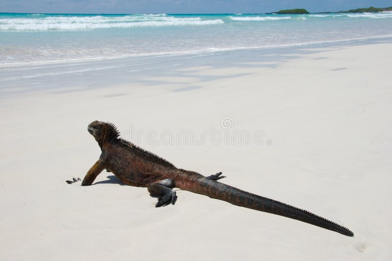 Iguana de marina imágenes de archivo libres de regalías