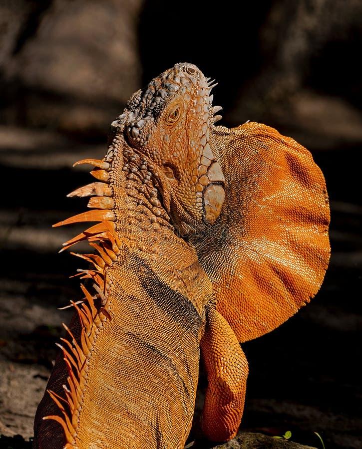 Iguana de vagabundeo en el parque zoológico del Palm Beach foto de archivo libre de regalías