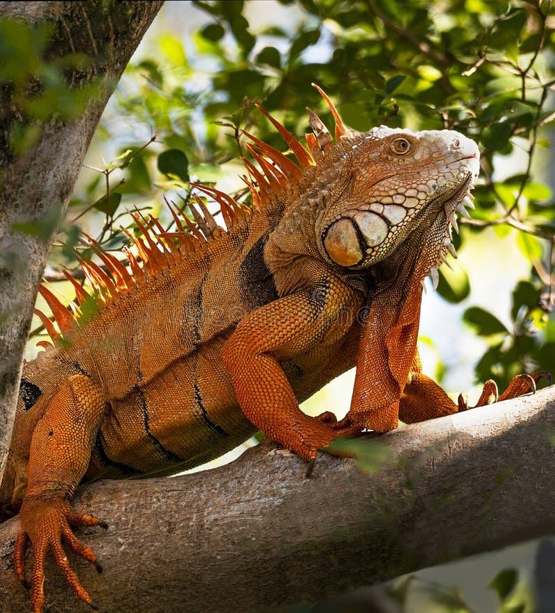 Iguana de vagabundeo en el parque zoológico del Palm Beach imagen de archivo libre de regalías