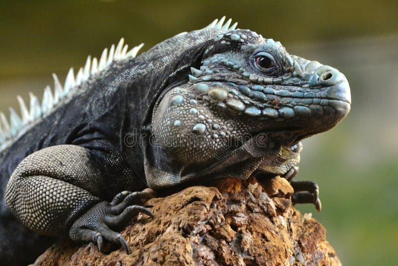 Iguana del blu di Grand Cayman fotografia stock