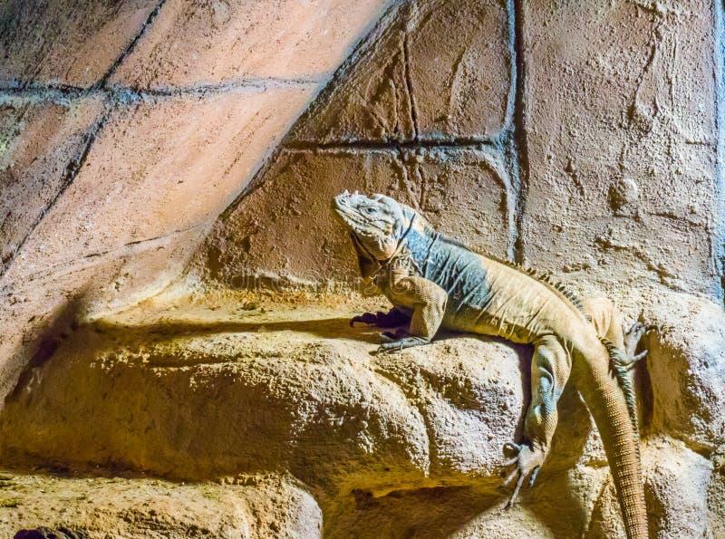 Iguana del rinoceronte un animale selvaggio tropicale cornuto e minacciato del rettile dai Caraibi immagini stock libere da diritti