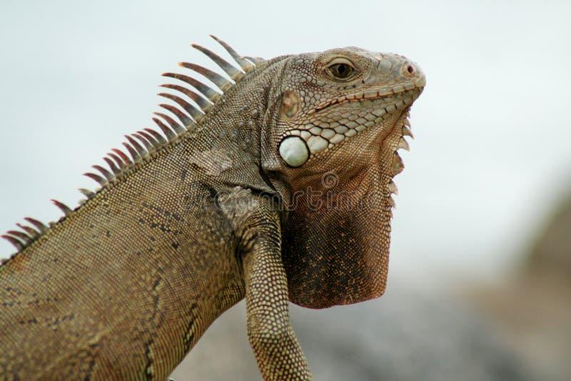 Iguana dell'Aruba fotografia stock libera da diritti