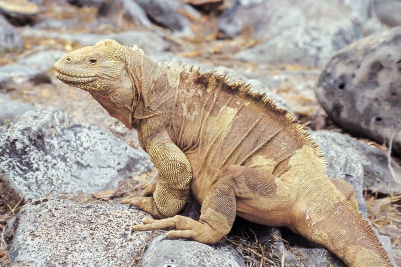 Iguana dello sbarco di Santa Fe, isole di Galapagos, Ecuador fotografia stock