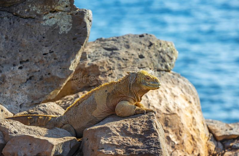Iguana dello sbarco di Santa Fe, isole di Galapagos, Ecuador immagini stock libere da diritti