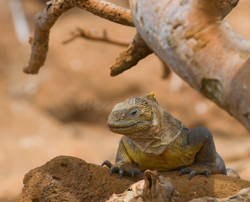 Iguana dello sbarco, isole di galapagos, Ecuador fotografia stock libera da diritti
