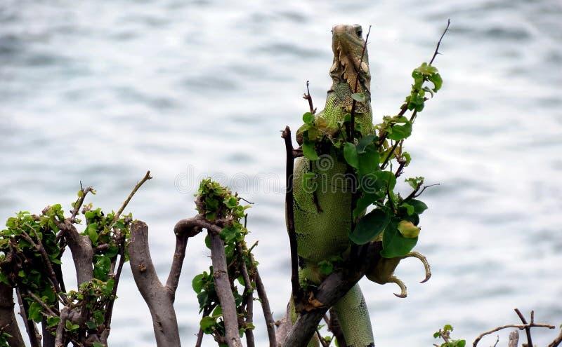 Iguana di riva dell'oceano fotografia stock libera da diritti