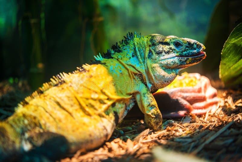 Iguana di Spinytail del messicano fotografia stock libera da diritti