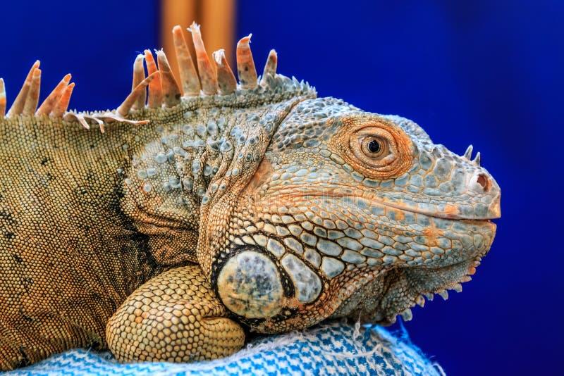 Iguana do animal de estimação que descansa em um descanso imagem de stock royalty free