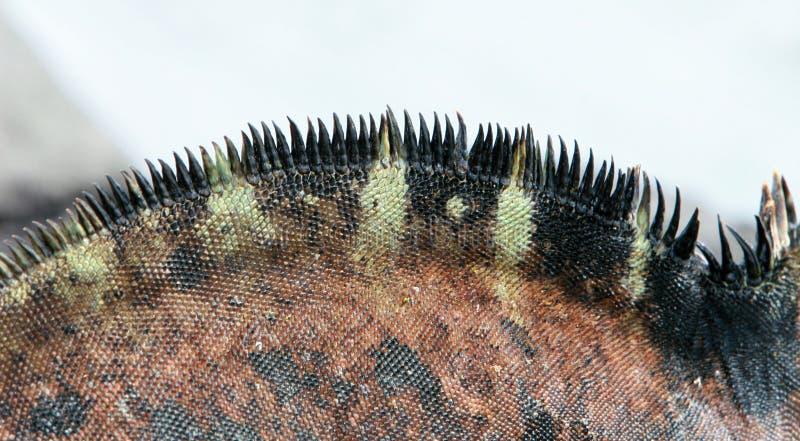 Iguana do fuzileiro naval do Close-up fotografia de stock