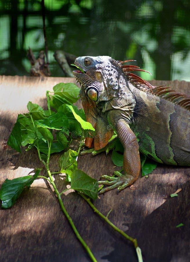 Iguana do jardim zoológico que alimenta nas folhas fotos de stock