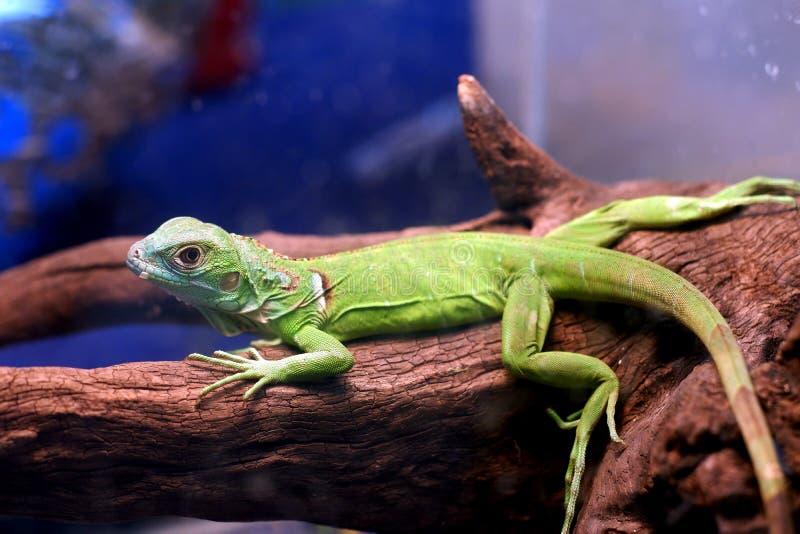 iguana do pigmeu imagem de stock royalty free