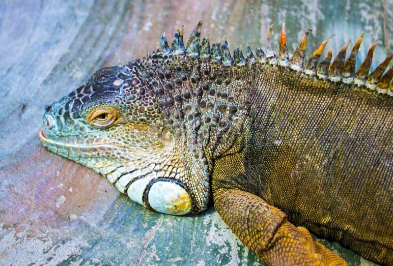 Iguana Dragón el dormir Retrato de un igua grande del reptil del lagarto imagen de archivo