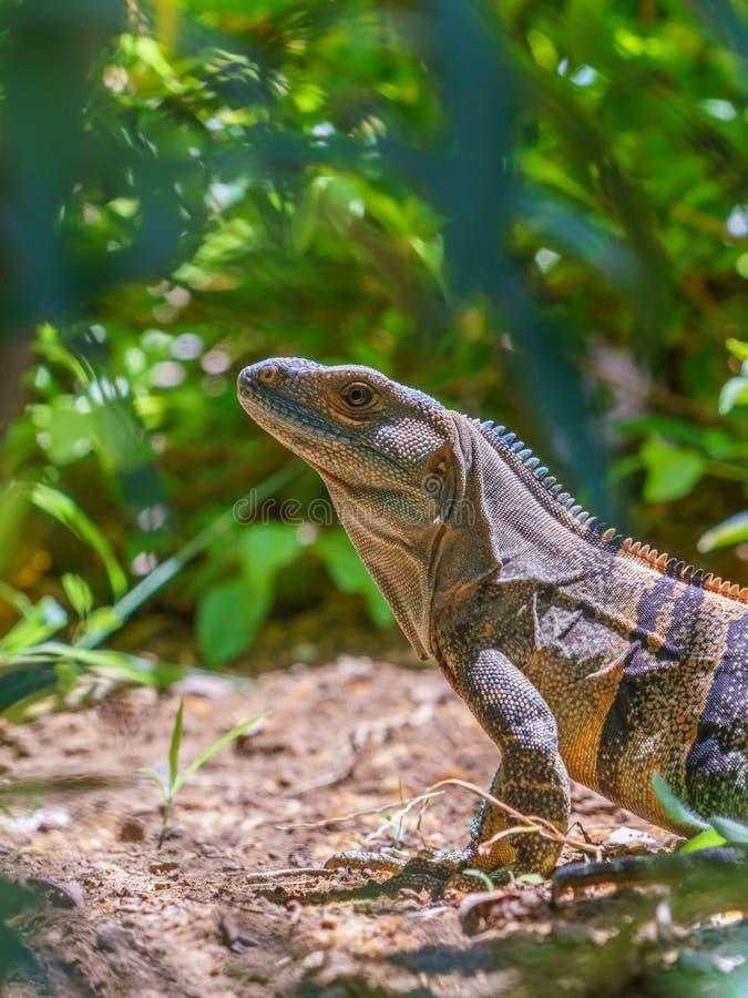 Iguana e#x28;Ctenosaura similis), em Preto Spiny Tailed, tomada na Costa Rica fotografia de stock