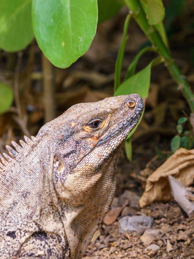 Iguana e#x28;Ctenosaura similis), em Preto Spiny Tailed, tomada na Costa Rica imagem de stock royalty free