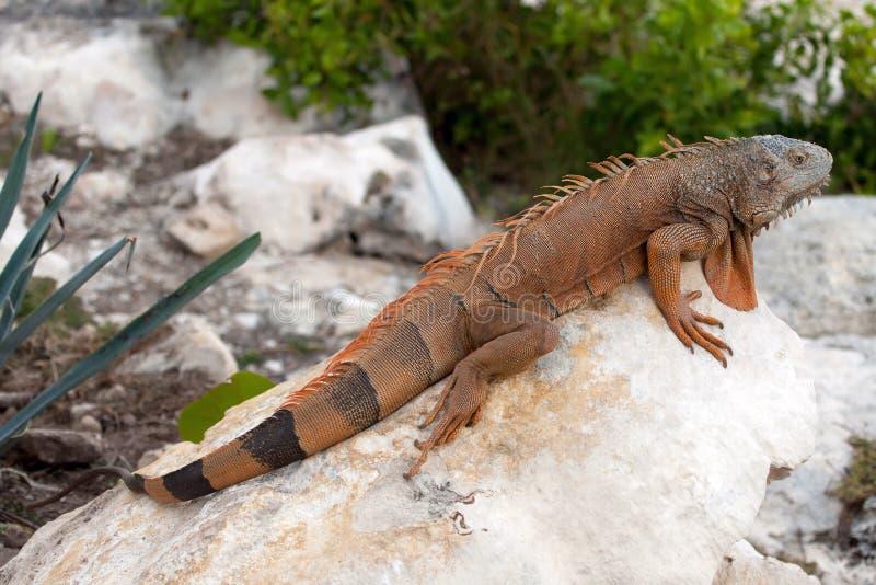 Iguana em Cancun, México fotografia de stock