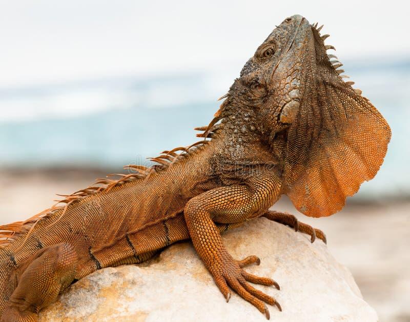 Iguana em Cancun, México imagem de stock