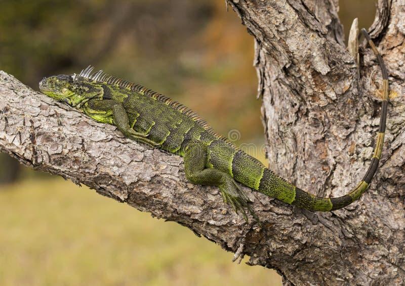Iguana em pantanais de Wakodahatchee foto de stock