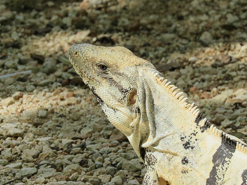 Iguana em pedras foto de stock