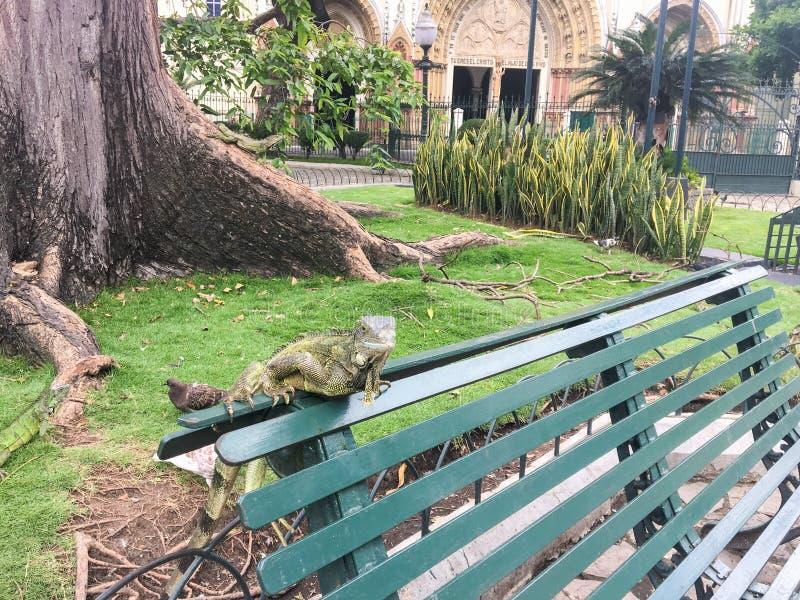 Iguana em um banco no parque de Seminario, Guayquil Equador fotografia de stock royalty free