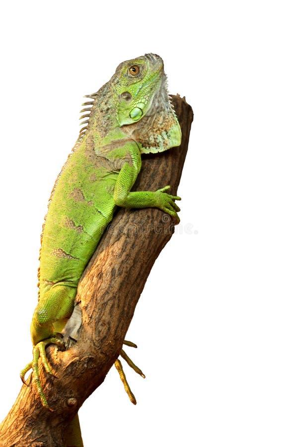 Iguana em uma árvore foto de stock