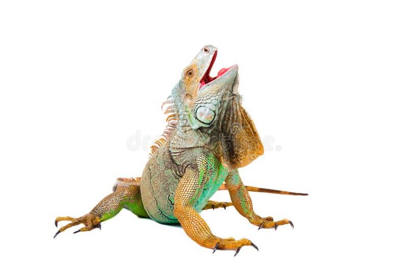 Iguana en blanco imagen de archivo