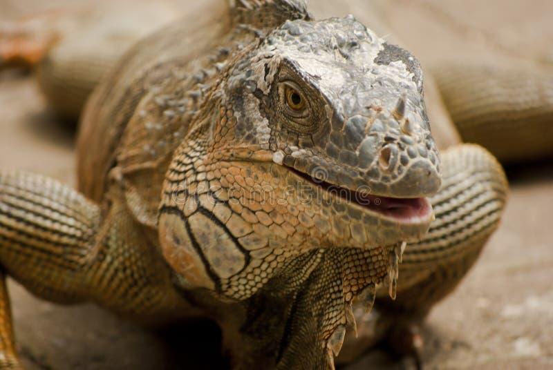 Iguana en Costa Rica foto de archivo