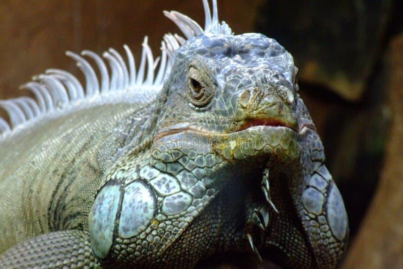 Iguana en el parque zoológico - el Brasil fotografía de archivo libre de regalías