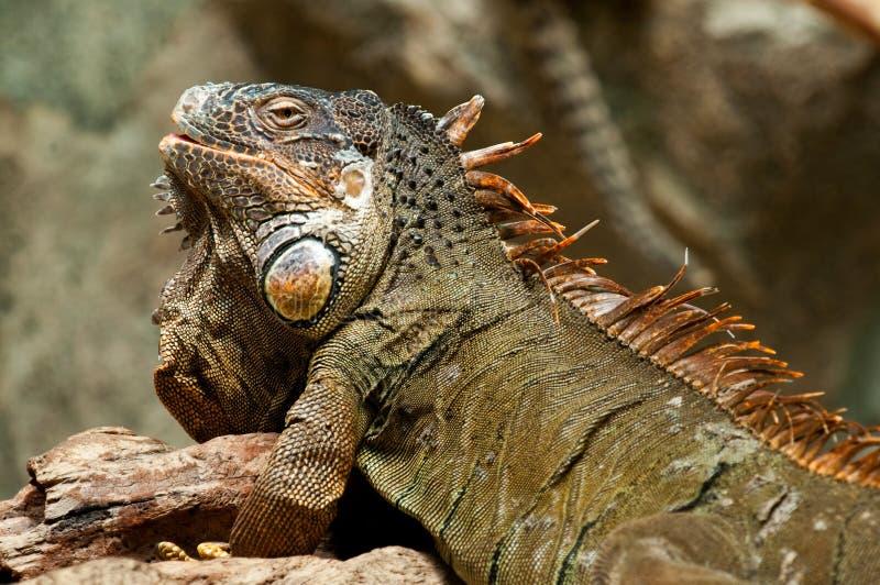 Iguana en el sol fotos de archivo libres de regalías