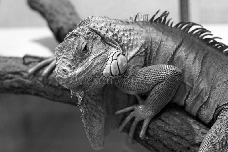 Iguana en el terrario imagenes de archivo