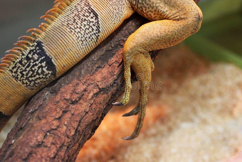Iguana en el terrario imagen de archivo