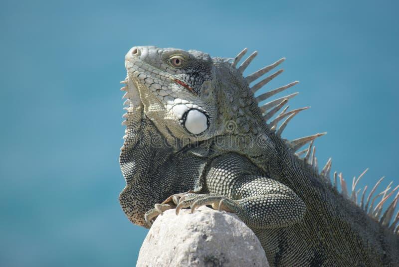 Iguana en la cara de mar imagenes de archivo