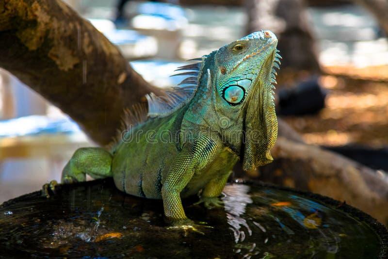Iguana en la fuente de agua, llaves de la Florida, los E.E.U.U. foto de archivo