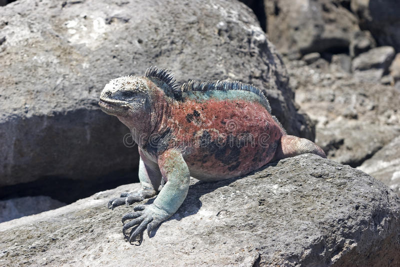 Iguana en la isla de Floriana foto de archivo