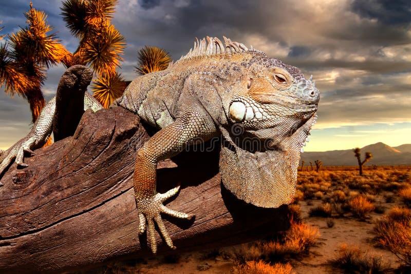 Iguana en la puesta del sol foto de archivo libre de regalías