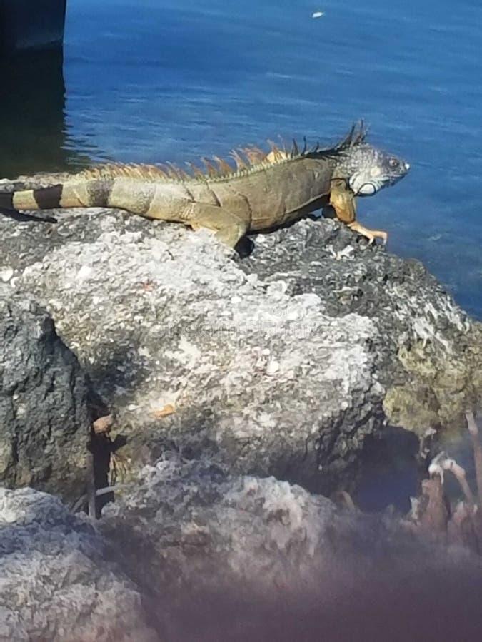 Iguana en las llaves fotos de archivo
