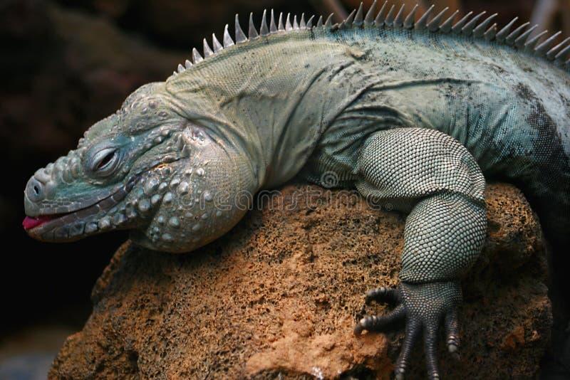 Iguana en una roca foto de archivo