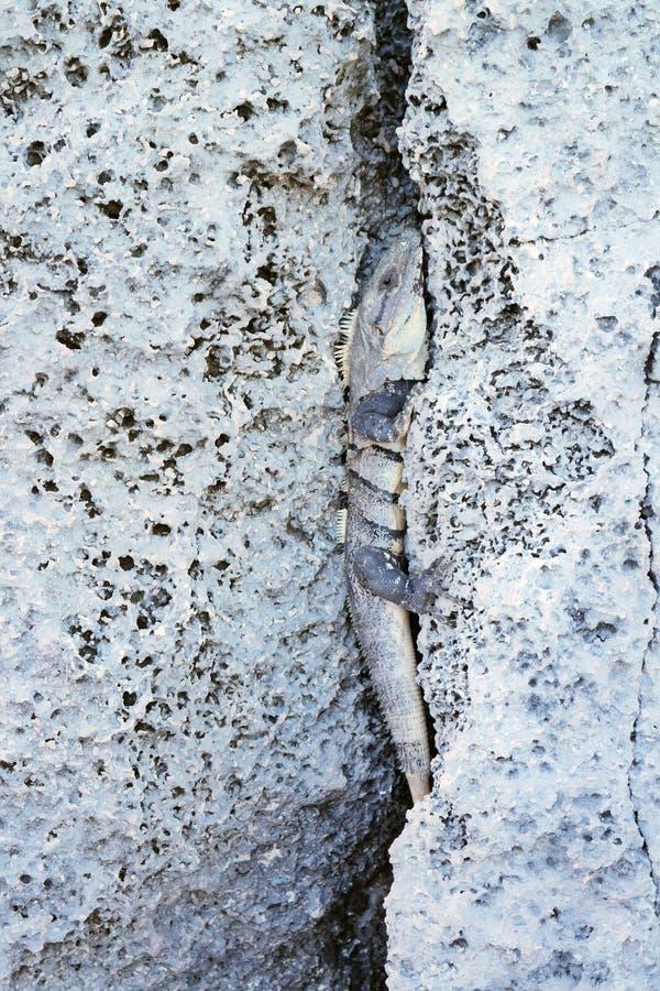 Iguana en una roca en la costa de México fotos de archivo