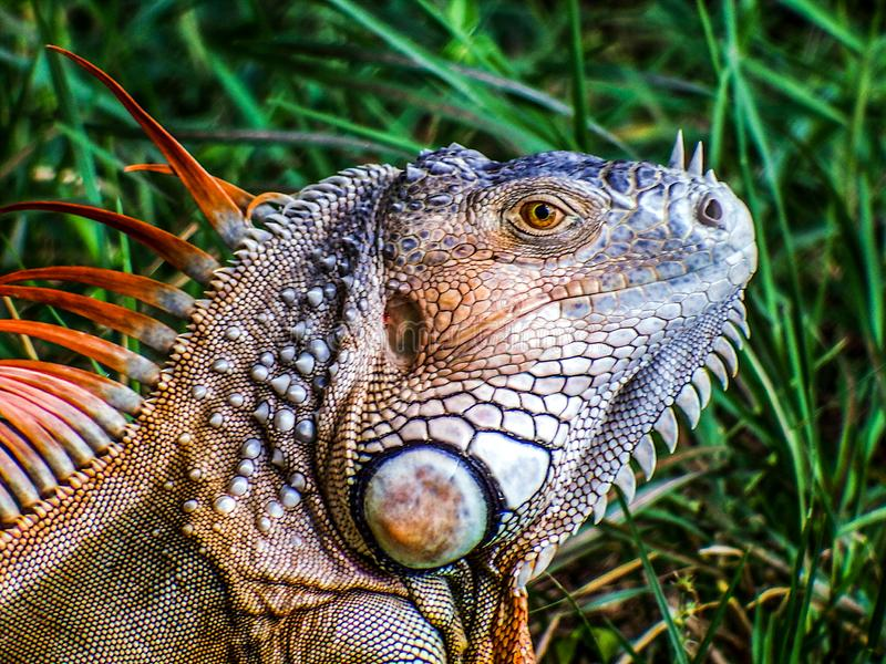 Iguana, a latter-day dinosaur,  enjoying the local nature park stock photography