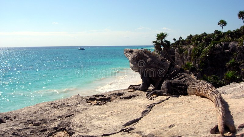 Iguana enjoying the view stock photography