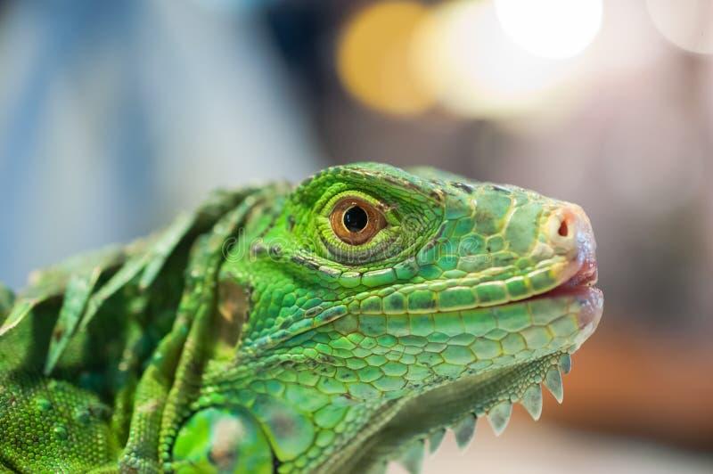 Iguana eye. Close up of the eye of green iguana stock photos