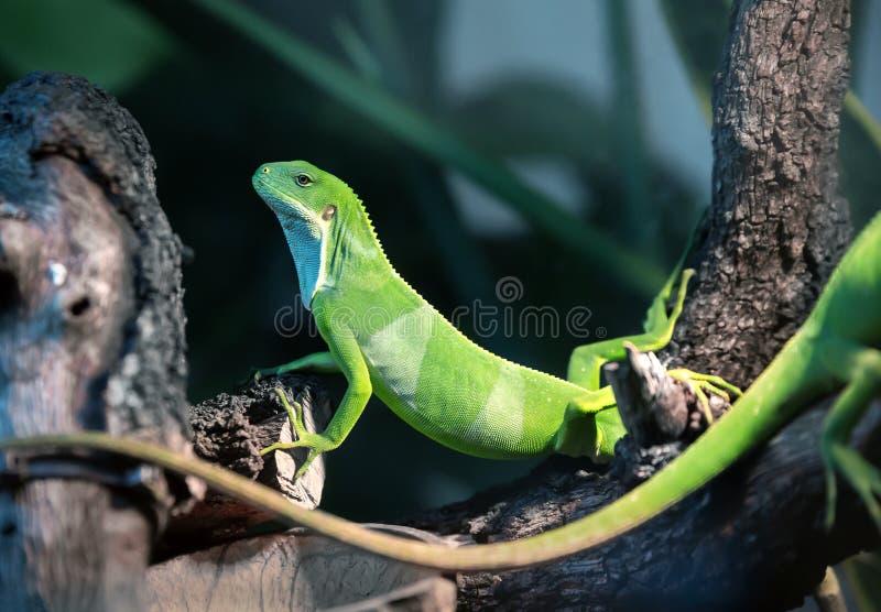 Iguana of Fiji brachylophus fasciatus sunbathing on a branch stock images